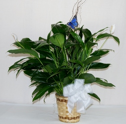 PEACE LILY WITH BUTTERFLY