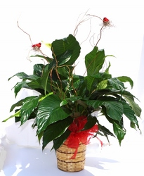 Peace lily plant decorated-medium gp9-13 from Krupp Florist, your local Belleville flower shop