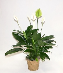 Peace lily plant-small gp3-13 from Krupp Florist, your local Belleville flower shop