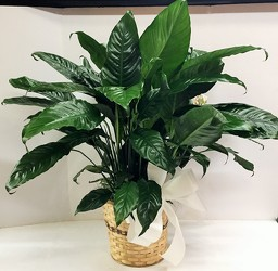 Peace lily plant-medium gp18-2 from Krupp Florist, your local Belleville flower shop