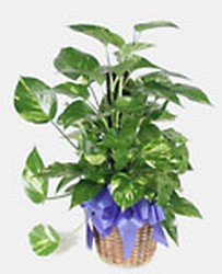 Peace lily plant-medium m02-040a from Krupp Florist, your local Belleville flower shop