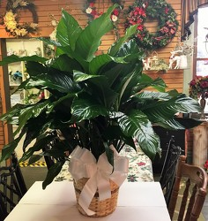 Peace lily plant-large m02-040b from Krupp Florist, your local Belleville flower shop